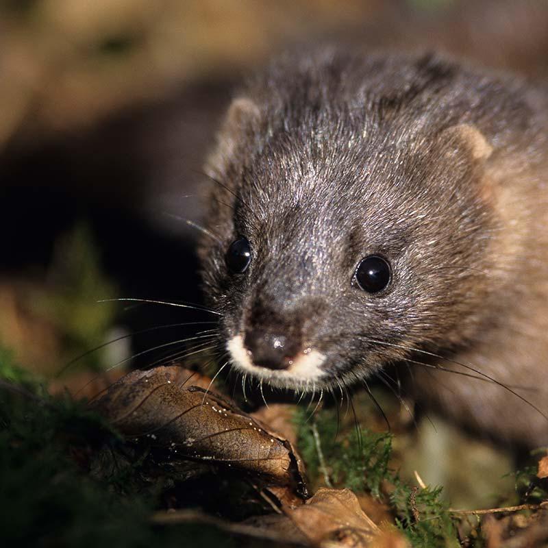 European mink - LIFE Vison