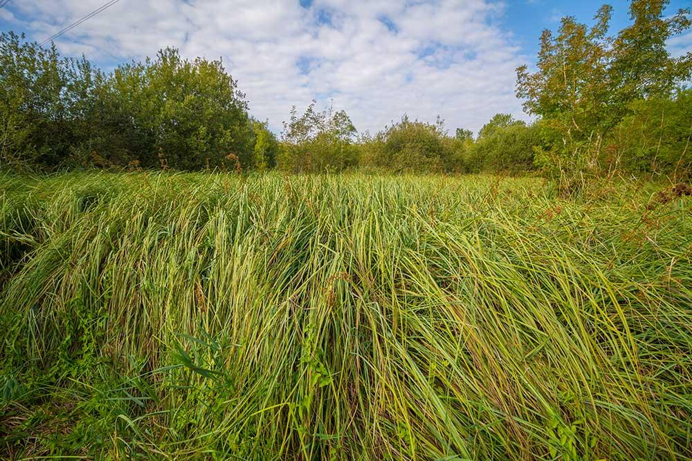 cladiaies, habitats remarquables fréquentés par le Vison d'Europe
