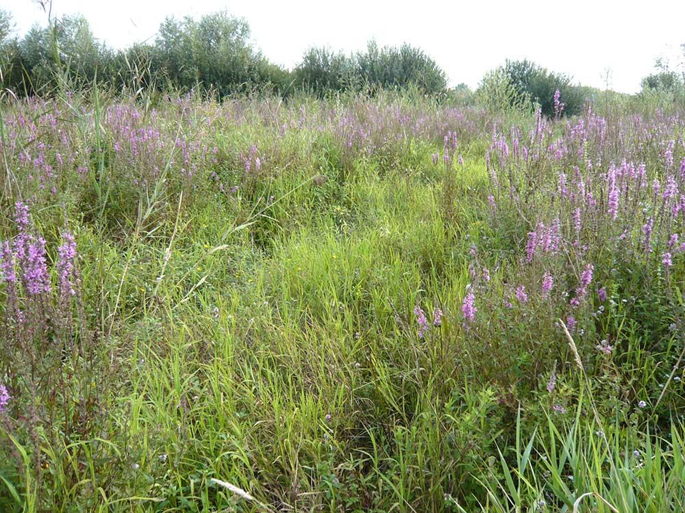 mégaphorbiaies, habitats d'intérêt communautaire procurant des abris au Vison d'Europe