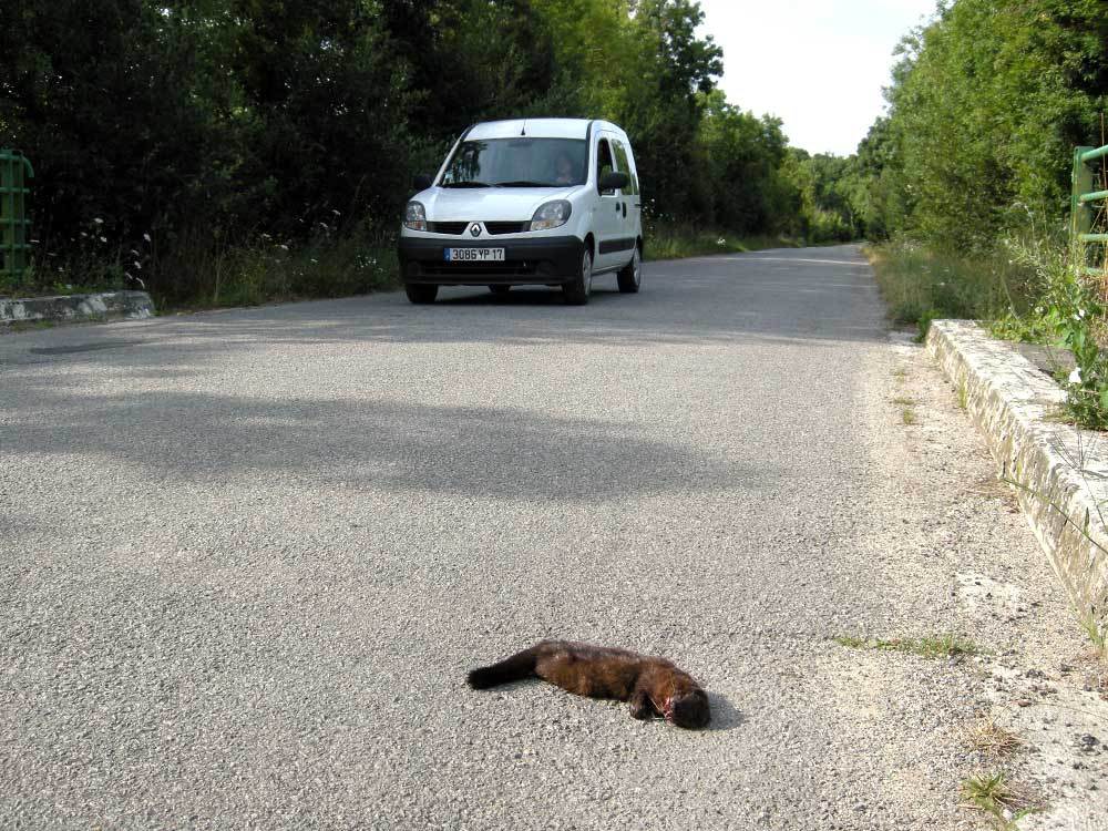 Mustelid victim of a road collision