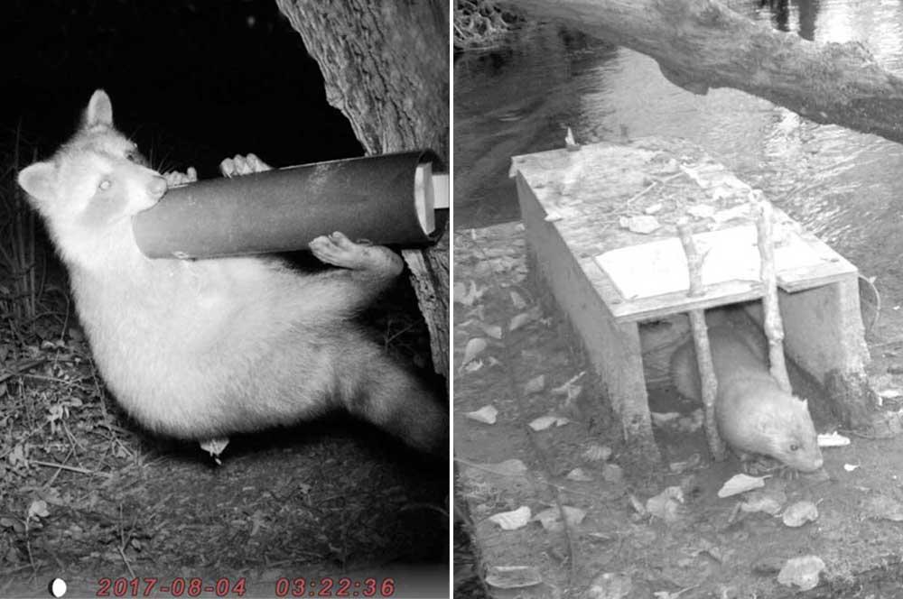 Raton-laveur tâtonnant un tube appâté, dispositif de détection indirecte développé par le GREGE. Vison d'Amérique sur un radeau à empreinte, dispositif caractéristique de détection indirecte de cette espèce