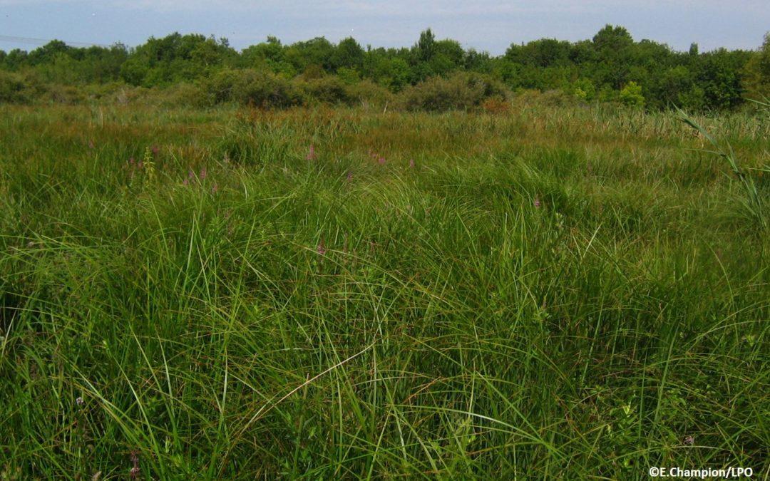Cladiaies dans le marais de l'Anglade