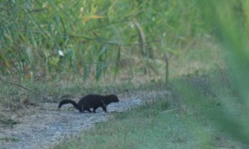 A European mink spotted and photographed in the Rochefort marshes!