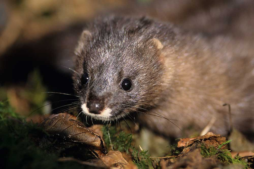 New sights of European mink upstream of Angoulême!