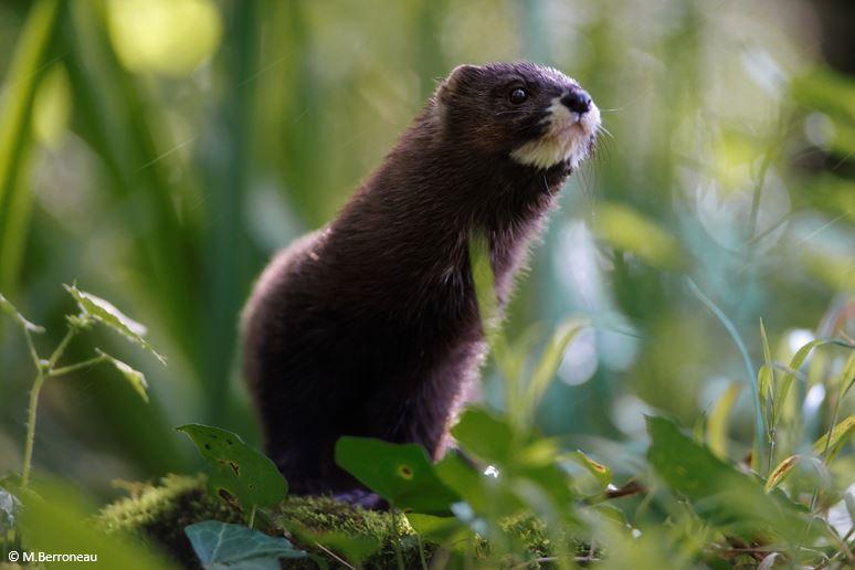 A new European mink caught!