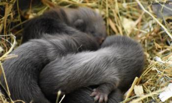 Naissance de quatre Visons d'Europe dans l'élevage conservatoire de Zoodyssée !
