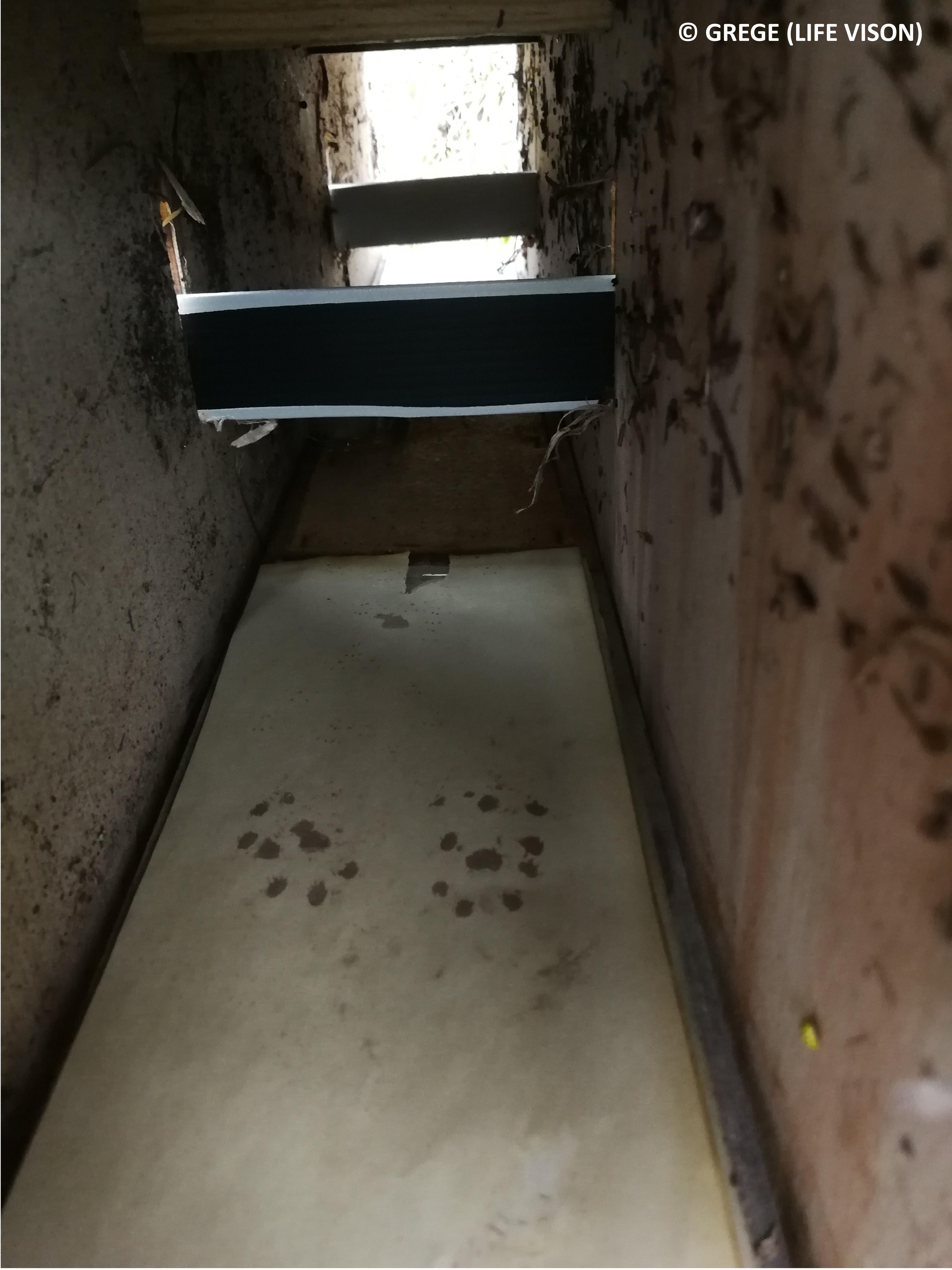 Tunnel à empreintes muni de capteurs de poils fréquenté par un Vison d'Europe