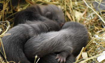 Birth of four European Minks in the Zoodyssée conservatory!