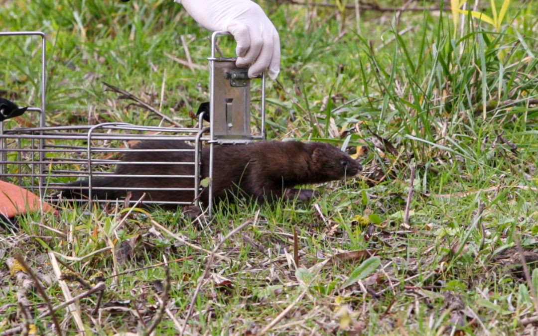 Release of the European Zen Mink in the Rochefort marshes