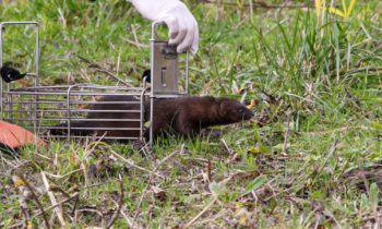 Two minks identified in the Rochefort marshes during the fall 2019 campaigns
