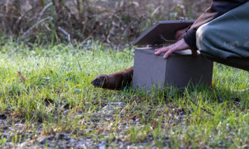 First telemetric monitoring of European mink as part of LIFE VISON